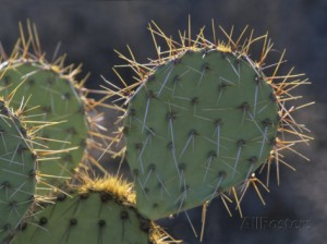john-lisa-merrill-prickly-pear-cactus-saguaro-national-park-tucson-arizona-usa