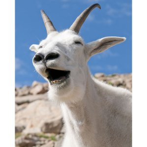 laughing-goat_1995021i