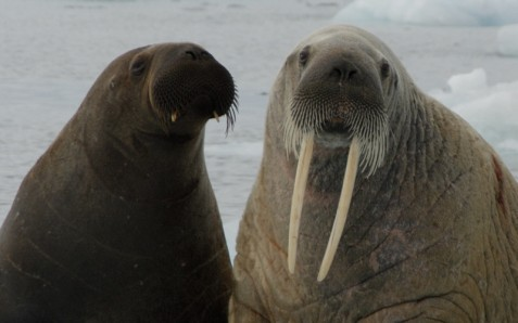 communication_walrus