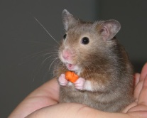 Hamster_in_hand-cropped