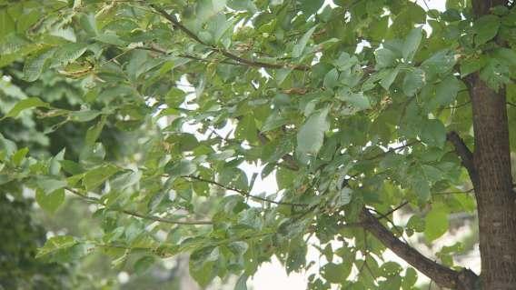 toronto-elm-tree